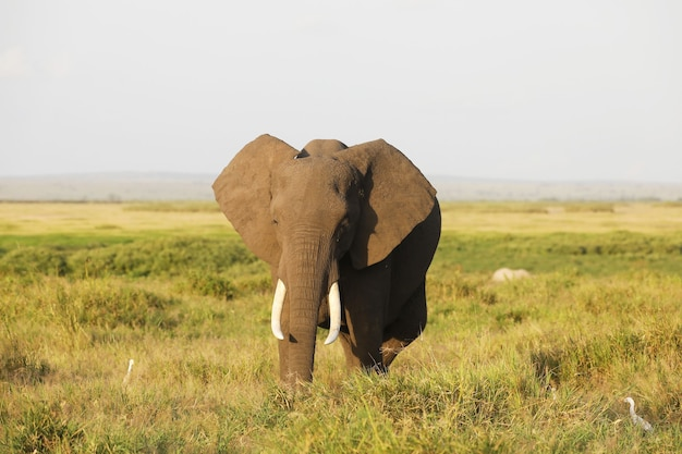 Olifant in amboseli national park, kenia, afrika