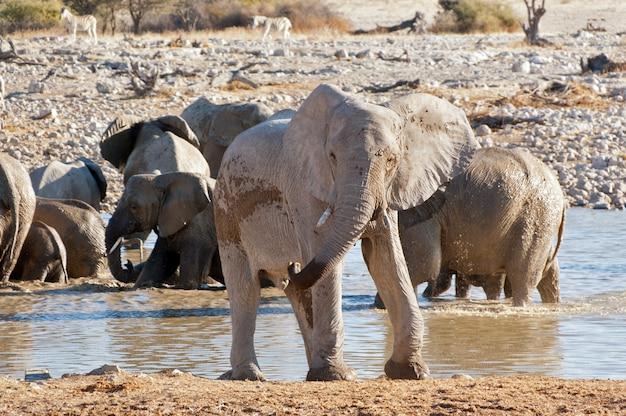 Olifant in de buurt van waterput. afrikaans natuur- en wildreservaat, etosha, namibië