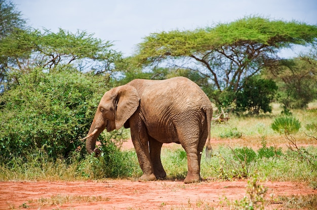 Olifant in de savanne
