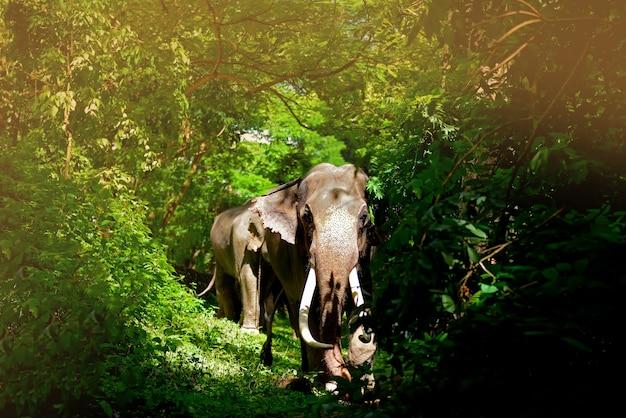 Olifant in het bos met lange sesam die aan de olifantsboerderij lopend