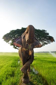 Olifant in het padieveld in provincie surin