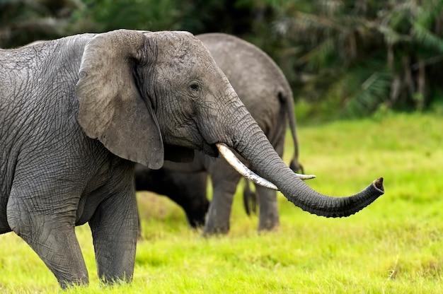 Olifant in hun natuurlijke habitat in de afrikaanse savanne
