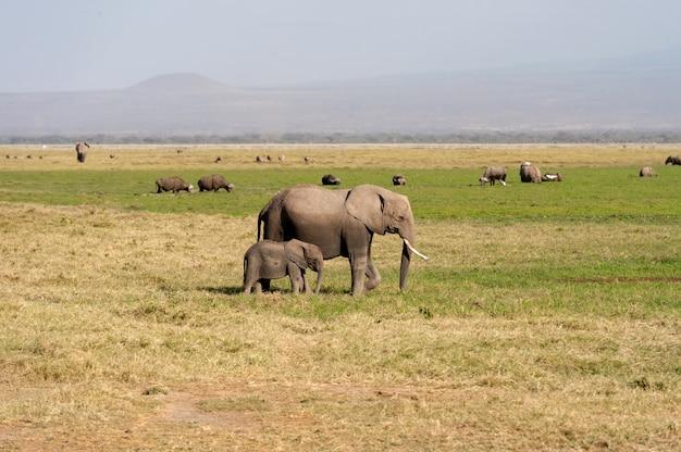 Olifant in nationaal park kenia, afrika