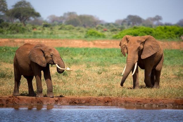 Olifant op de waterput in de savanne van kenia