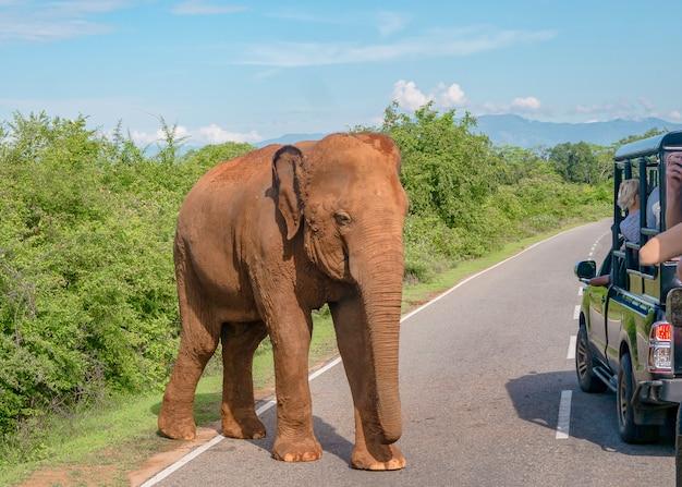 Olifant op de weg. een wilde olifant kwam de rijbaan op. gevaar op de weg. sri lanka, pinnawela-olifantenweeshuis.