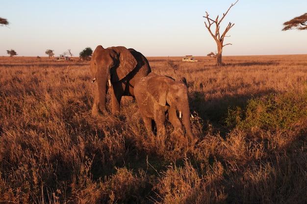 Olifant op savanne in kenia en tanzania, afrika
