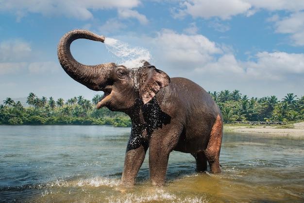 Olifant opspattend water door de stam in de rivier