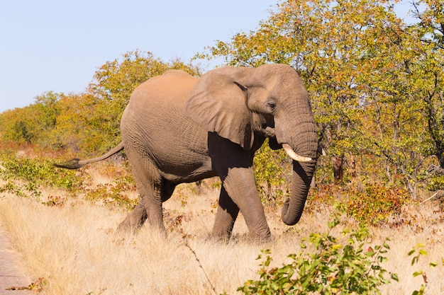 Olifant uit kruger national park, loxodonta africana