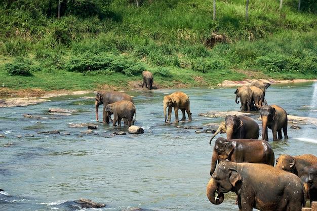 Olifanten baden in jungle rivier van sri lanka