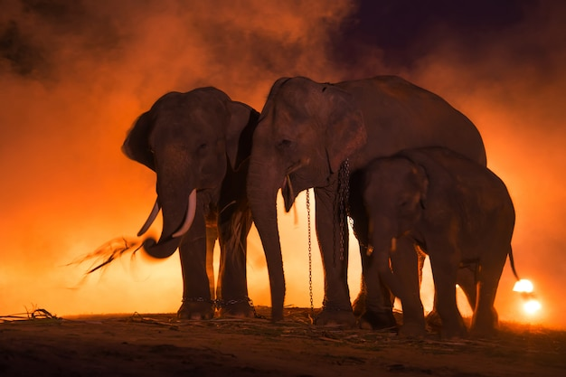 Olifanten. familie van olifanten, surin thailand.