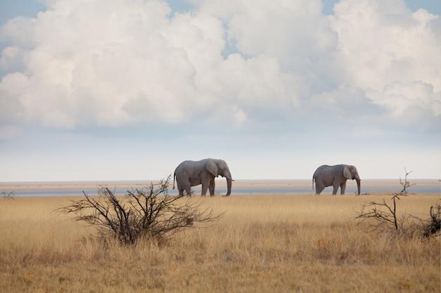 Olifanten in afrikaanse savanne.