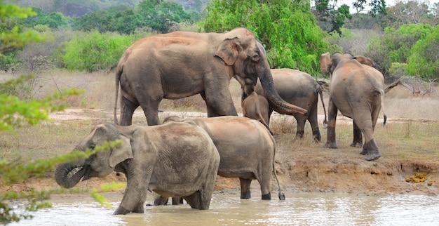 Olifanten in het nationale park yaala in sri lanka