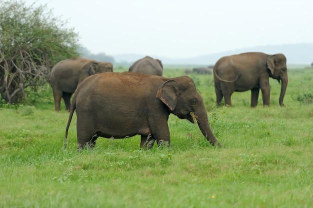 Olifanten in nationaal park, sri lanka