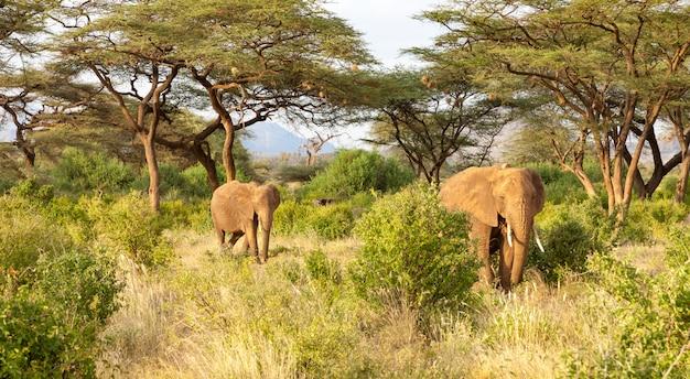 Olifanten lopen door de jungle te midden van veel struiken