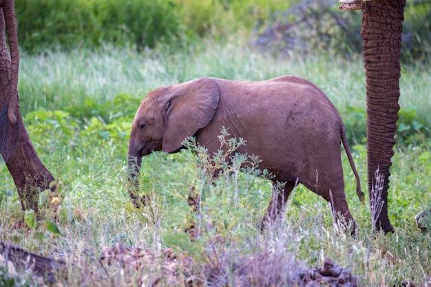 Olifanten lopen tussen de bomen en struiken