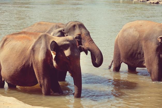 Olifanten op sri lanka
