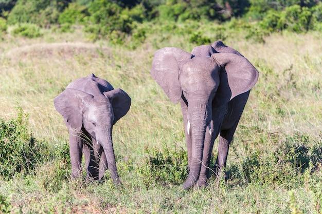 Olifantenfamilie die in de savanne lopen