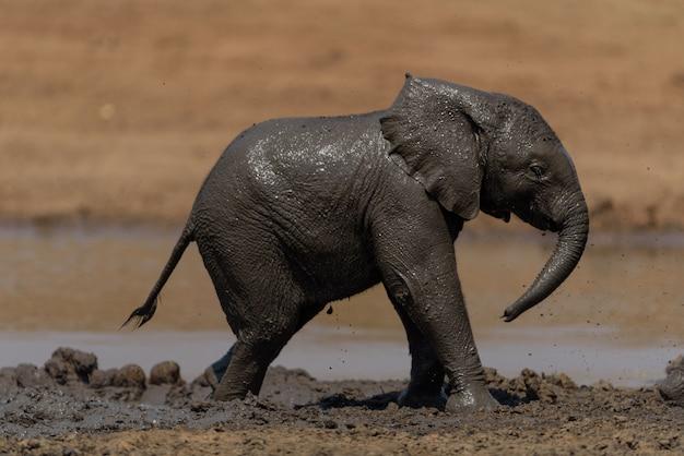 Olifantskalf in modder