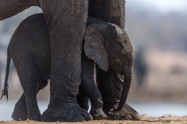 Olifantskalf met moeder