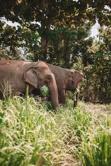 Olifantspaar die door de wildernis lopen en gras eten