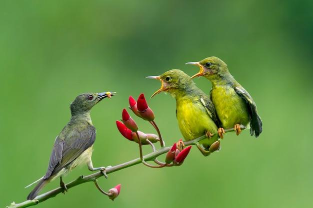 Olijf-gesteunde sunbirds die het kind voeden