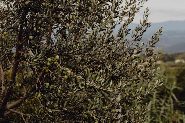 Olijfbomen in de natuur