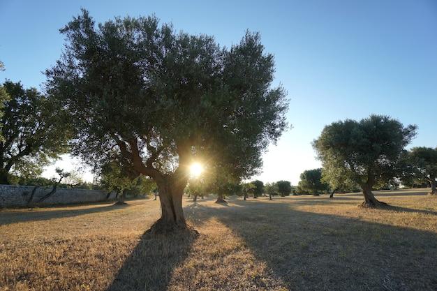 Olijfbomen in de selva di fasano