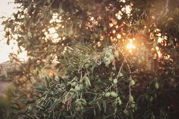 Olijfbomen op zonsondergang. zonnestralen