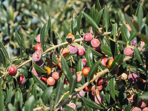 Olijfbomen tuin, mediterraan olijven veld klaar voor de oogst.
