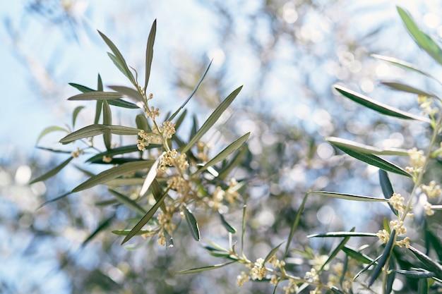 Olijfboomtakken bloeiend met kleine gele bloemen