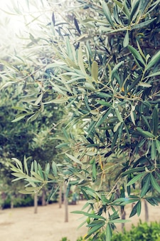 Olijven en olijfboom in zomerdag. seizoen natuur