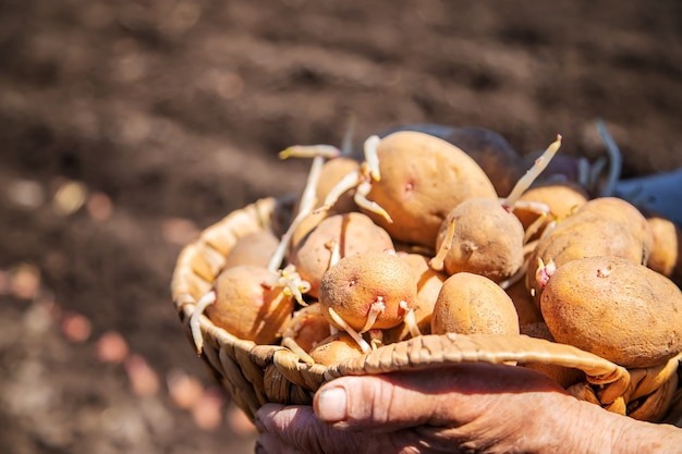 Oma aanplant gekiemde aardappelen in de tuin