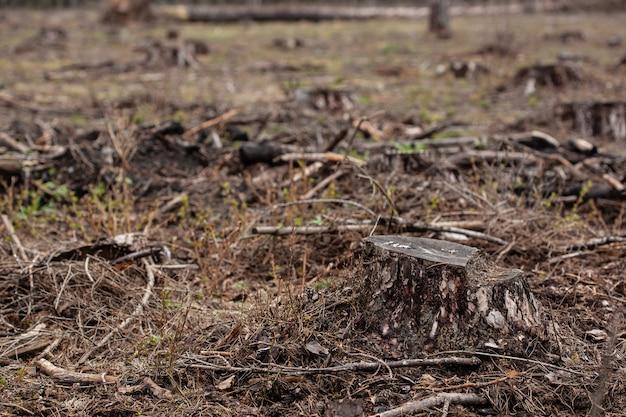 Omgehakte pijnbomen in het bos. ontbossing en illegale houtkap, internationale handel in illegaal gekapt hout. stomp van de gekapte levende boom in het bos. vernietiging van dieren in het wild. hout exporteren en importeren
