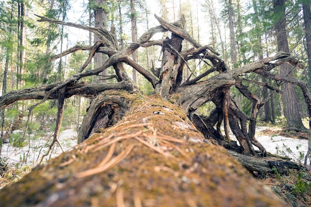Omgevallen boom in de siberische taiga.