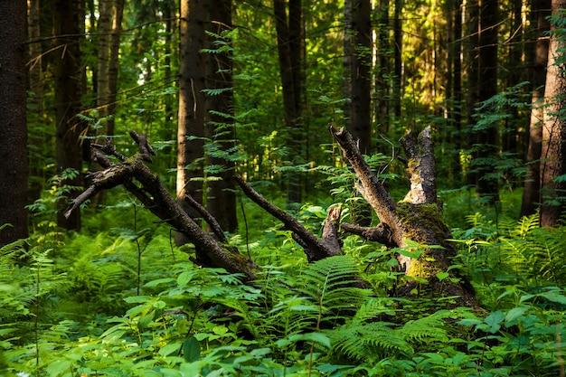 Omgevallen oude bomen begroeid met gras en varens in dicht naaldbos