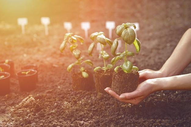 Onbekende vrouw houdt groene basilicumplant vast die uit de grond ontspruit, klaar voor het planten van biologische eco-za...