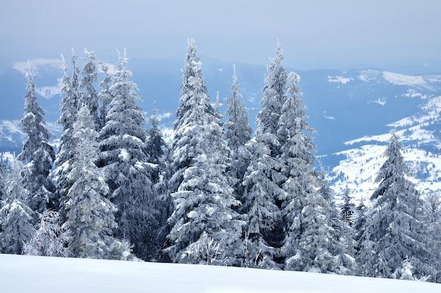 Onderaanzicht enorme chique besneeuwde dennenbomen groeien midden op een heuvel met sneeuw. noordelijk natuurconcept. copyspace