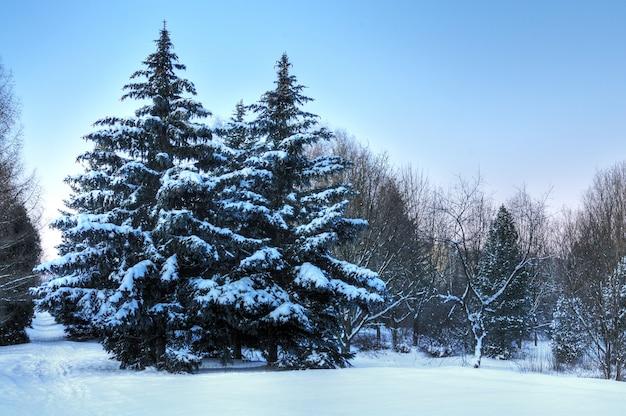 Onderaanzicht enorme chique besneeuwde dennenbomen groeien midden op een heuvel met sneeuw. noordelijk natuurconcept.