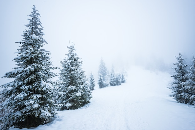 Onderaanzicht enorme chique besneeuwde dennenbomen groeien midden op een heuvel met sneeuw