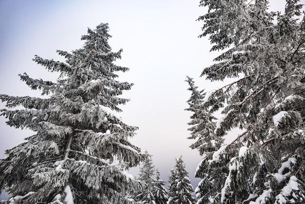 Onderaanzicht enorme chique besneeuwde sparren groeien in het midden van een heuvel met sneeuw. noordelijk natuurconcept. copyspace