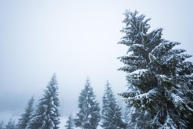 Onderaanzicht enorme chique besneeuwde sparren groeien in het midden van een heuvel met sneeuw