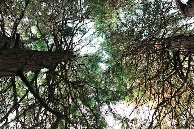 Onderaanzicht. grenen stammen met takken. zonnestralen in de boomkroon