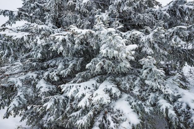 Onderaanzicht hoge majestueuze sparren bedekt met sneeuw staan in een bos