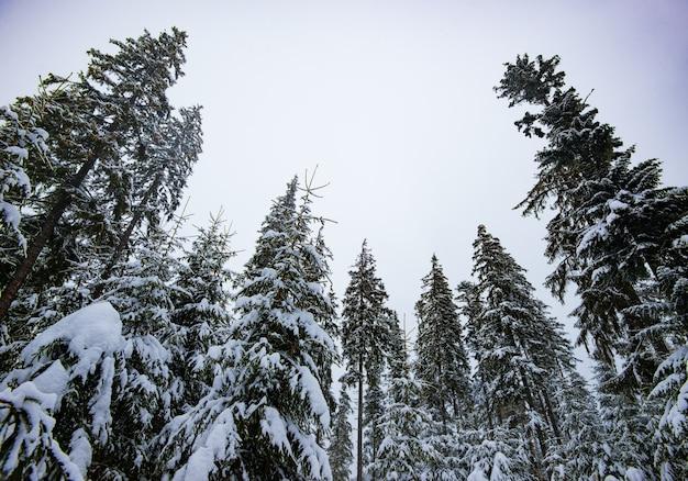 Onderaanzicht majestueuze sparren met besneeuwde takken staan in het bos op een bewolkte grijze dag