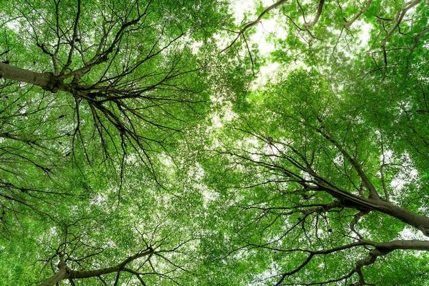 Onderaanzicht van de boomstam tot groene bladeren van de boom in tropisch woud