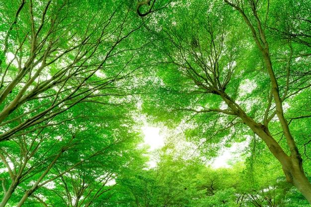 Onderaanzicht van de boomstam tot groene bladeren van grote boom in tropisch woud met zonlicht.