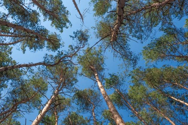 Onderaanzicht van hoge oude bomen