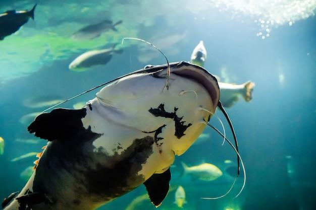 Onderwaterfoto van the catfish silurus glanis. grootste roofvissen in europese meren en rivieren.