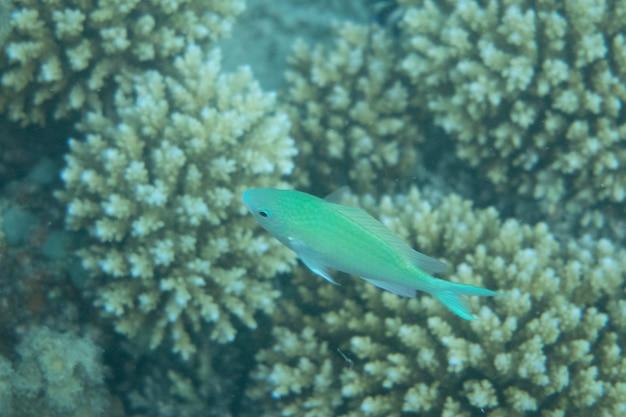 Onderwaterwereld met koralen en tropische vissen in zee