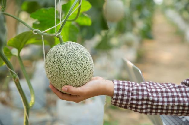 Onderzoekers van planten controleren de effecten van meloen.